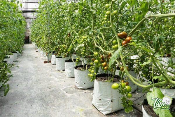 vườn cà chua socola Đà Lạt
