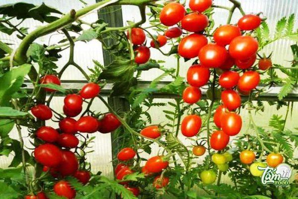 cà chua bi ăn sống
