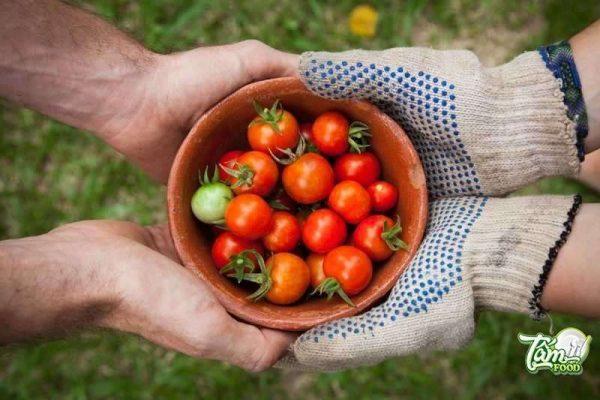 hướng dẫn cách trồng cà chua
