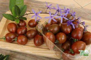 trồng cà chua chocolate