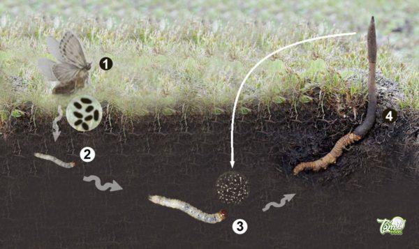 đông trùng hạ thảo là gì? tất cả thông tin về đông trùng hạ thảo